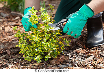 Gardener pruning a plant - Close up of gardeners hands...