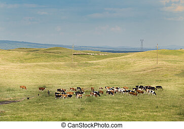 Cows grazing on a hilly meadow on a sunny day