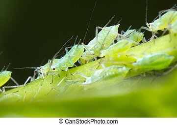 Infestation of Aphids on morning glory plant