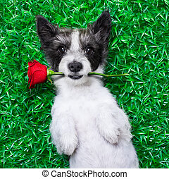 valentines dog - dog with rose in mouth, while lying on...