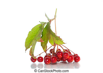 viburnum - red berries of viburnum on a branch with leaves...