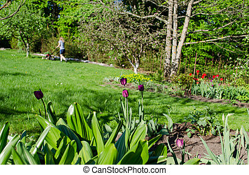 garden spring tulip and woman cutting grass background