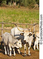 Cows in Maremma