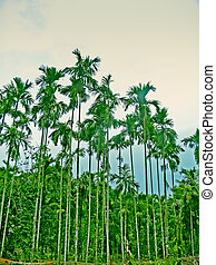 Areca catechu, Betel palm or Betel nut tree,