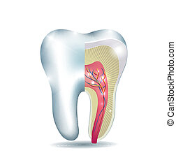Tooth anatomy, part of the tooth is cross section, detailed...