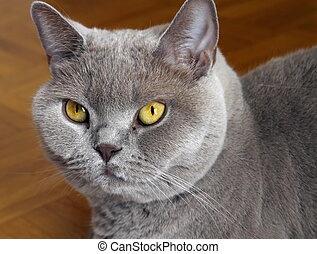 Lilac british shorthair portrait