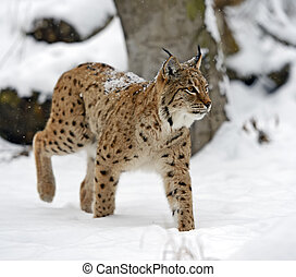 Lynx - Bobcat winter in their natural habitat Ukraine