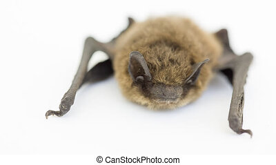 Bat on white - Closeup view of small bat on white (5D Mark...