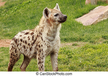 hyena - an african spotted hyena