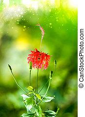 Fringed Hibiscus flower