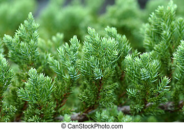 Juniper Shrub in the garden Juniperus horizontalis Moench...