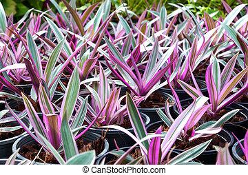 Ornamental varieties for gardening