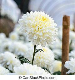 White Chrysanthemum Morifolium flowers in garden - White...