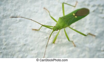 Green shield bug on a light background. Thailand - Video...
