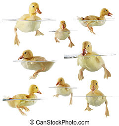 Collage of ducklings - Collage of cute ducklings swimming