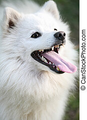 white Alaskan Eskimo dog - Beautiful white Alaskan Eskimo...