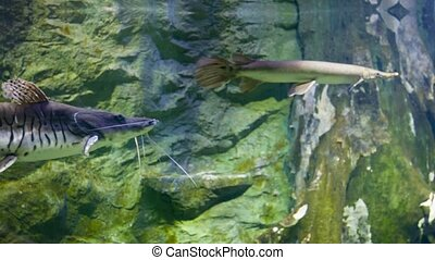 Tiger shovelnose catfish in the pond - Video 1080p - Tiger...