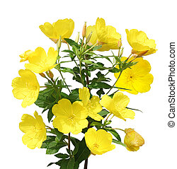 Evening Primrose (Oenothera) flower plant isolated on white...