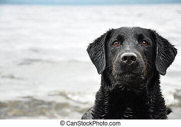 black labrador retriever - head shot of black Labrador...