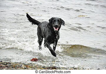 black labrador retriever - black Labrador retriever in water