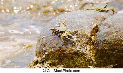 Crabs feed on the stones in the surf. Thailand, Phuket...