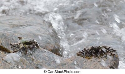 Crabs feed on the rocks in the surf. Thailand, Phuket island...