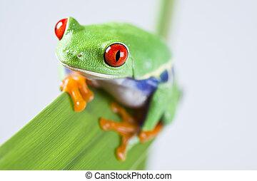 Tree frog - Frog - small animal with smooth skin and long...