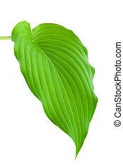 Hostas Leaf - Hostas plant leaf isolated on white background