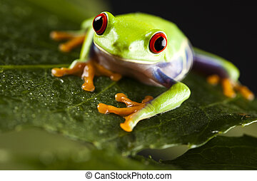 Leaf frog - Frog - small animal with smooth skin and long...
