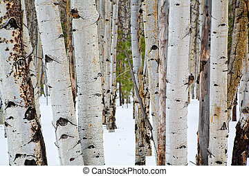 Aspen trees - Details of aspen trees in winter near...