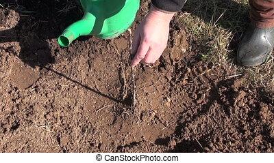 gardener watering young apple tree