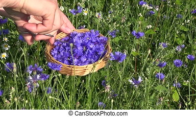 cut fresh medical cornflower herbs
