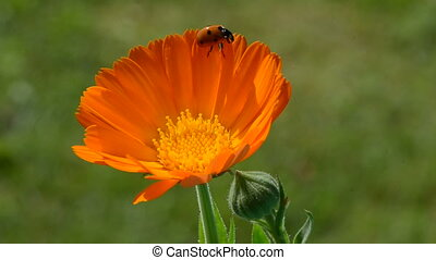 ladybug on calendula marigold herb - beautiful ladybird...