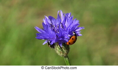beautiful insect ladybird ladybugs on blue summer cornflower...