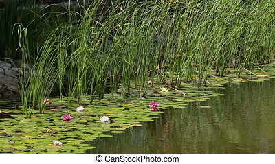 lilies and water-lilies on water with stones - pink lilies...