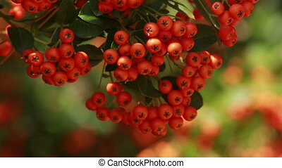 Autumn red rowan berries - fine red small berries of a...