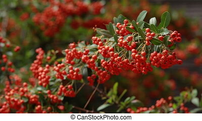 it is a lot of autumn mountain ash - the mountain ash with...