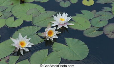 white water-lily on water - white water-lilies on green...