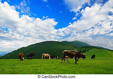 Cows grazing on mountain meadow