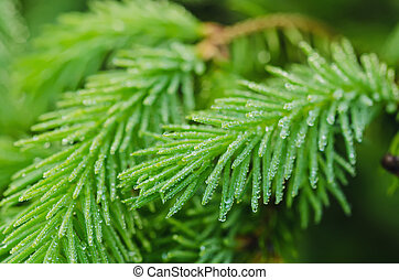 Fir tree - Background from conifer evergreen tree branches...