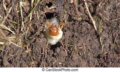 insect may beetle may-bug larva - insect may beetle may-bug...