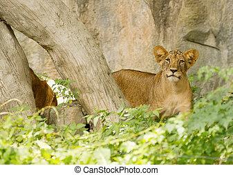 little Lion Cubs