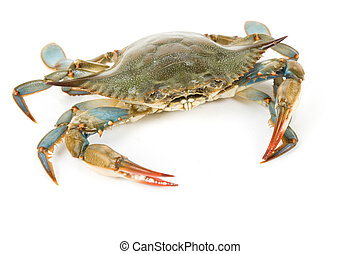 azul, cangrejo