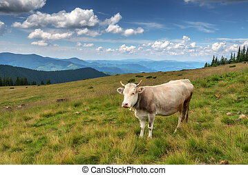 cow on green pasture in mountains