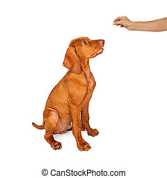 Training a Vizsla Puppy to Sit - A person holing a treat in...