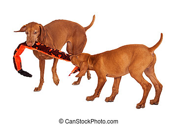 Two Vizsla Dogs Playing With Toy - An adult and a puppy...