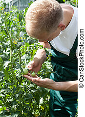 Gardener working in greenhouse and caring about tomatoes