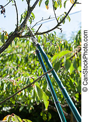 Pruning in a orchard