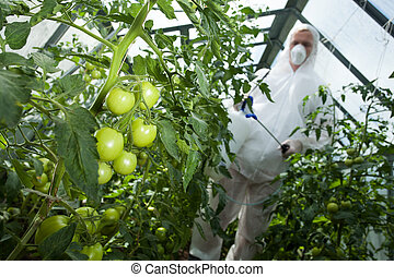 Man with spray for tomatoes in greenhouse