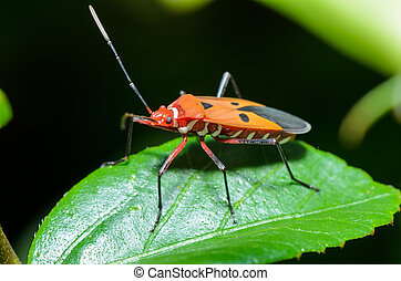 Red Cotton Bug (Dysdercus cingulatus) Close-up on a green...